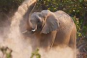 A desert-adapted elephant (Loxodonta africana) dusting ,Skeleton Coast, Namibia,Africa