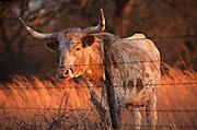 Longhorn cow standing in field behind fence in Oklahoma