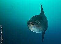 Mola Mola- Sunfish , Galapagos National Park