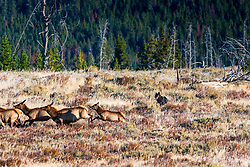 Black Wolf of the Canyon Pack chases elk in Yellowstone National Park. I was photographing elk in the Yellowstone backcountry when the wolves showed up with a big appetite. <br /> <br /> 24 megabyte file, max print size = 16X24 inches.<br /> <br /> Read Story<br /> http://www.the-hole-picture.com/articles/Wolf-Chase.html