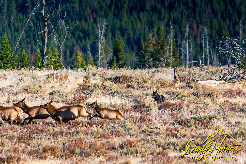 Black Wolf of the Canyon Pack chases elk in Yellowstone National Park. I was photographing elk in the Yellowstone backcountry when the wolves showed up with a big appetite. <br /> <br /> Read Story<br /> http://daryl-hunter.net/wolf-chase