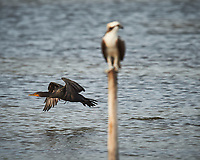 Double-crested Cormorant flying behind an Osprey.  Biolab Road, Merritt Island National Wildlife Refuge. Image taken with a Nikon D4 camera and 600 mm f/4 VR lens (ISO 500, 1200 mm, f/5.6, 1/1250 sec).