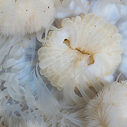 A close-up abstract image of a sea anemone off Vancouver Island, Canada.