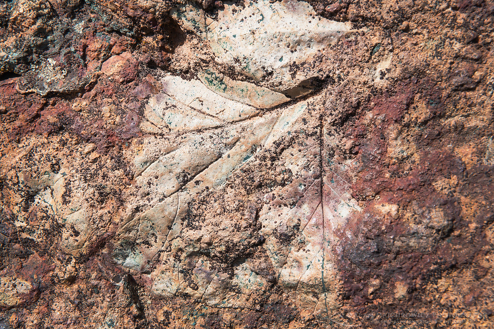 Leaf fossil  Clarno Unit, John Day Fossil Beds National Monument