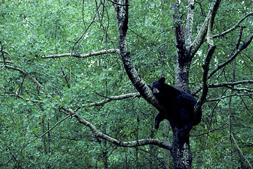 Black Bear, (Ursus americanus) Minnesota, bear takes refuge in tree for midday nap during drenching rain. Late summer.