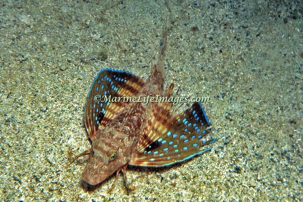 Bluespotted Searobin inhabit areas of sand and rocky rubble, most common below 90 ft in Tropical West Atlantic; picture taken Cubuga, Venezuela.