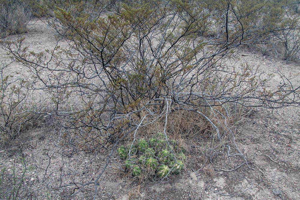 Wirikuta e' uno dei deserti piu' biodiversi del mondo.<br /> Wirikuta is one of the most biodiverse deserts of the world