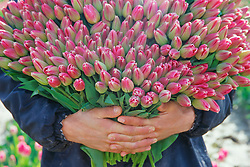 United States, Washington, La Conner, farm worked holding huge bunch of cut tulips during annual April harvest.
