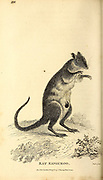 Musky rat-kangaroo from General zoology, or, Systematic natural history Part I, by Shaw, George, 1751-1813; Stephens, James Francis, 1792-1853; Heath, Charles, 1785-1848, engraver; Griffith, Mrs., engraver; Chappelow. Copperplate Printed in London in 1800. Probably the artists never saw a live specimen