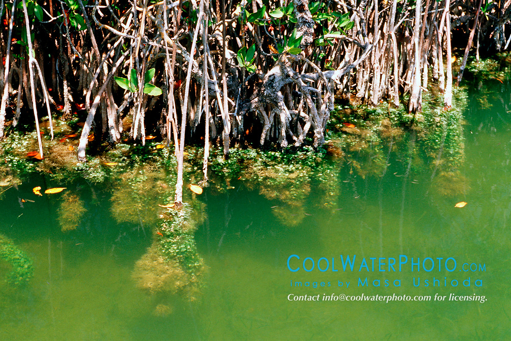 red mangrove prop root, Rhizophora mangle, covered with various marine animals and plants, Blackwater Sound, Florida, USA Bay, Everglades National Park, Florida, USA