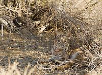 Bobcat, Lynx rufus (Felis rufus), Death Valley National Park, California