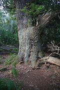 Ancient broad leaf oak woodland once a medieval deer park, The Thicks, Staverton forest, Suffolk, England