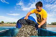14 MAY 2013 - BANGKOK, THAILAND:  A man dumps baskets of shrimp into a water tank on the back of his pickup truck in Saphunburi province Thailand. Early mortality syndrome, better known as EMS -- or Acute Hepatopancreatic Necrosis Syndrome, (AHPNS) as scientist refer to it -- has wiped out millions of shrimp in  Thailand, the leading shrimp exporter in the world. EMS first surfaced in 2009 in China, where farmers noticed that their prawns had begun dying en-masse, without any identifiable cause. By 2011, shrimp farms in China's Hainan, Guangdong, Fujian and Guangxi provinces were suffering losses as great as 80%. Farmers named the disease based on its immediate effect – Early Mortality Syndrome. After China, EMS devastated shrimp farms in Vietnam and Malaysia. The province of Tra Vinh, Vietnam, saw 330 million shrimp die in the month of June 2011 alone. In Malaysia, where EMS first emerged in 2010, commercial prawn production declined by 42%. EMS hit Thailand in early 2013. As a result of early die offs in Thailand many farmers left their shrimp ponds empty and stores that sell shrimp farm supplies have reported up to 80% drop in business as shrimp farm owners have cut back on buying.      PHOTO BY JACK KURTZ