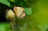 A white-faced capuchin monkey (Cebus capucinus), in Manuel Antonio National Park, Costa Rica.