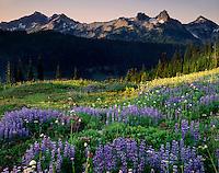 Tatoosh Range and meadows of lupines arnica and valerian, Mount Rainier National Park Washington