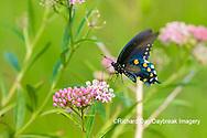 03004-01618 Pipevine Swallowtail (Battus philenor) on Swamp Milkweed (Ascelpias incarnata) Marion Co. IL