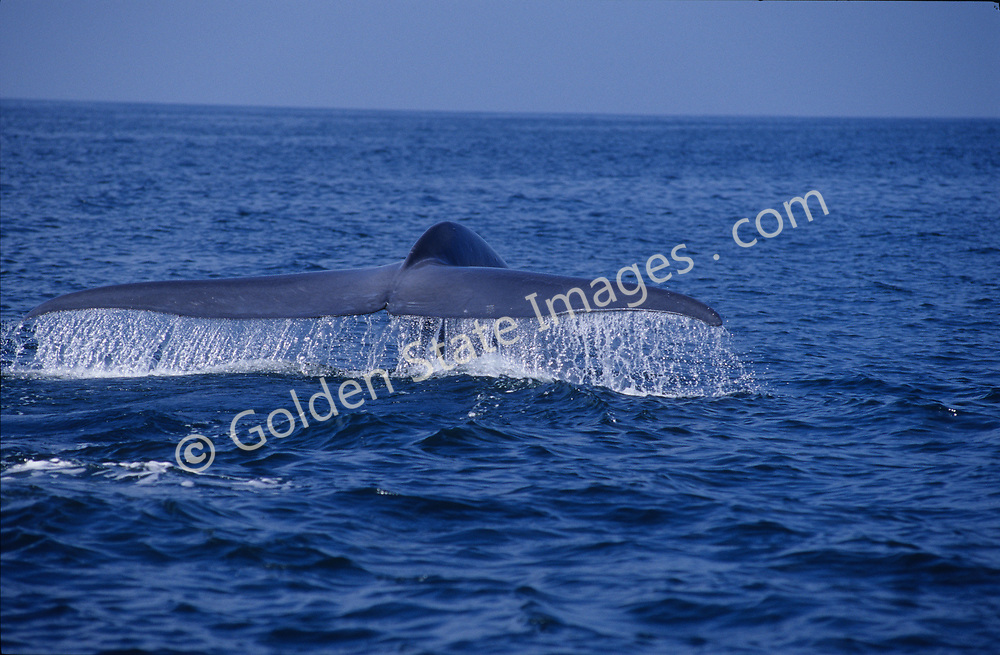 The huge fluke of a Blue Whale can power it to speeds of over 30 miles per hour for short distances.<br /> <br /> Range: Found worldwide. In the Pacific Ocean they range from the Arctic to the Gulf of Mexico    <br /> <br /> Species: Balaenoptera musculus
