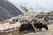 Yaks, and orange trekkers' tents at Dingboche, in Sagarmatha National Park, Nepal. Fresh snow dusts the mountains. In the background is a chorten, or stupa, a Tibetan Buddhist monument. Sagarmatha National Park was created in 1976 and honored as a UNESCO World Heritage Site in 1979.