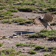 Pale Chanting Goshawk (Melierax canorus) a young bird jumps back from  a black necked cobra (Naja nigricollis) in Amboseli National Park, Kenya