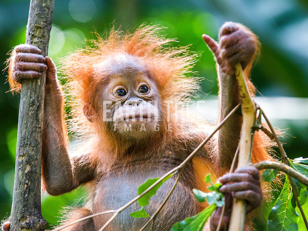 Sumatran orangutans at the Sumatran orangutan conservation program, quaratine centre outside Medan, Sumatra, Indonesia. Photo: Paul Hilton for RAN