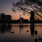 The Lake Eola Park swans swim in the city park in front of the fountain on Friday, March 27, 2020 in Orlando, Florida.  (Alex Menendez via AP)