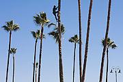 A man climbs high up a tall palm tree along the Malecon waterfront in Ensenada, Baja California Norte, Mexico.