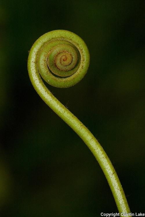 Fiddlehead fern shoot near to the interoceanic Highway near Quincemil, Peru