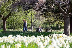 © Licensed to London News Pictures. 20/04/2016. Hampton Court, UK People enjoy the sunshine and blossom in the Wilderness Garden at Hampton Court Palace in Surrey this morning, 20th April 2016. The UK is enjoying sunny weather today. Photo credit : Stephen Simpson/LNP