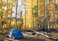 Campsite in grove of quaking aspen, Populus tremuloides. Hope Valley, Sierra Nevada Mountains, California