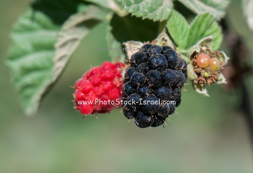 Blackberries (Rubus sp.) Unripe blackberries (red) and ripe blackberries (black) are the fruit of this thorny bush. Blackberries are edible when ripe, and are widely cultivated for human consumption. They are also found growing wild near water sources in woodland areas. Photographed in Israel in June