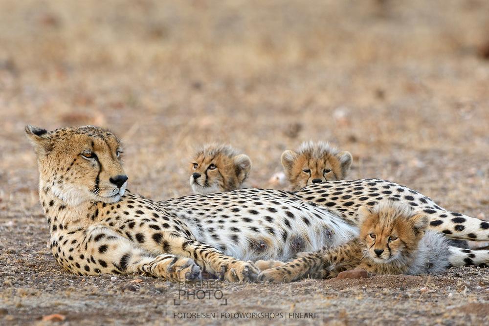 Eine Geparden-Mutter (Acinonyx jubatus) mit drei Kleinen, Schutzgebiet Tuli Block, Botswana<br /> <br /> A cheetah mother (Acinonyx jubatus) with three cubs, private game reserve Tuli Block, Botswana