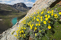 Wildflowrs clinging to cliffs on Centre Mountain Jasper National Park Alberta Canada