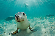 Rare and endangered Australian Sea Lions (Neophoca cinerea) swim and play  in the shallows of Hopkins Island, South Australia.