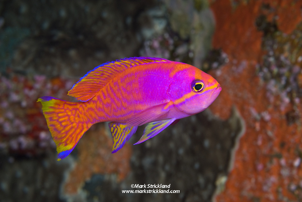 This brilliantly colored male Twospot Anthias, Pseudanthias bimaculatus, was found on a deep wall dive at Barren Island. Andaman Islands, India, Andaman Sea; Indian Ocean