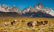 Horses grazing, La Quinta estancia on edge of Parque Nacional Los Glaciares, famous peaks Cerro Torre and FitzRoy behind, Patagonia, Argentina...