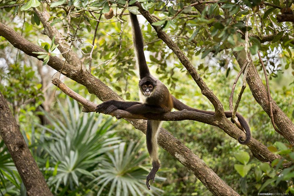 A Geoffroy's spider monkey (Ateles geoffroyi) stare down, Belize.