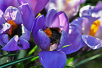 Two bumblebees in crocus flowers. Stacked photos.