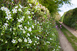 Greater Stitchwort growing in the hedgerow on the bank of a Devon lane. Addersmeat, Star of Bethlehem, Wedding Cakes. Stellaria holostea