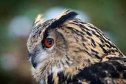 Eagle owl, at a wildlife rescue centre, Staffordshire, England, UK<br /> Photo: Ed Maynard<br /> 07976 239803<br /> www.edmaynard.com