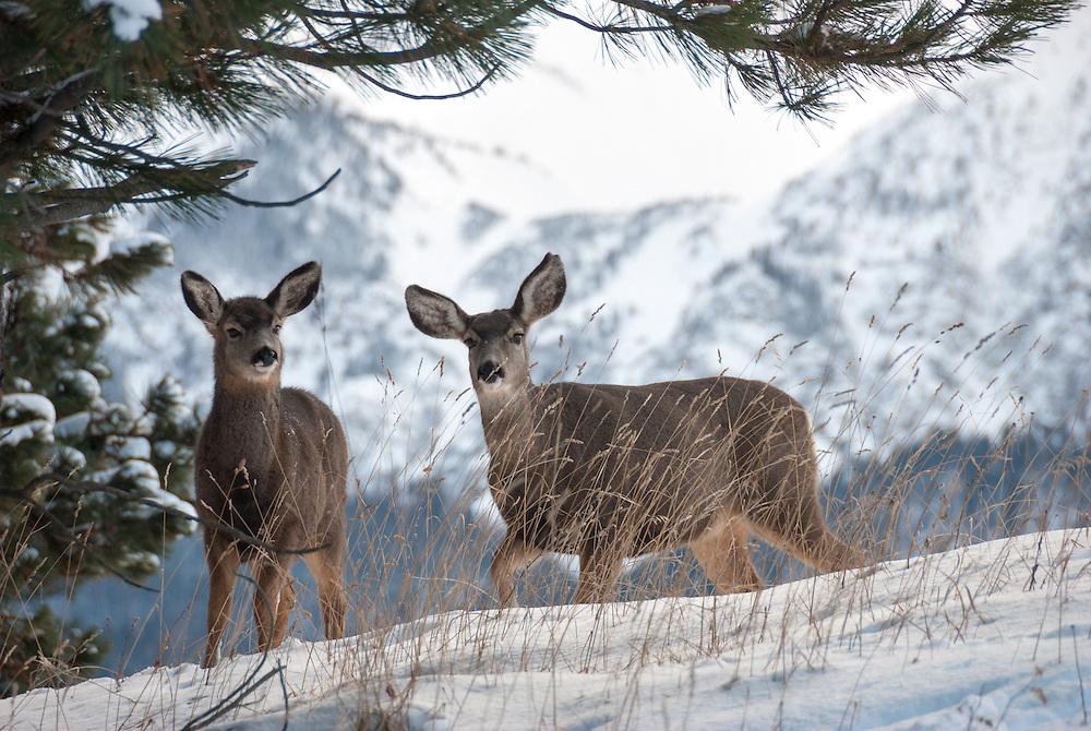 Mule deer at the Iwetemlaykin Heritage Site in Oregon's Wallowa Valley.