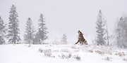 A Coyote replies to a howl heard off in the distance of the Lamar Valley.