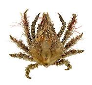 Spider Crab - Pisa armata