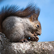 This is the Japanese subspecies of Eurasian Red Squirrel (Sciurus vulgaris orientis) eating a nut it retrieved from the ground, perhaps one that it had buried.