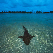 A nurse shark (Ginglymostoma cirratum) rests in shallow water at sunset to save energy for mating which will take place the next morning.