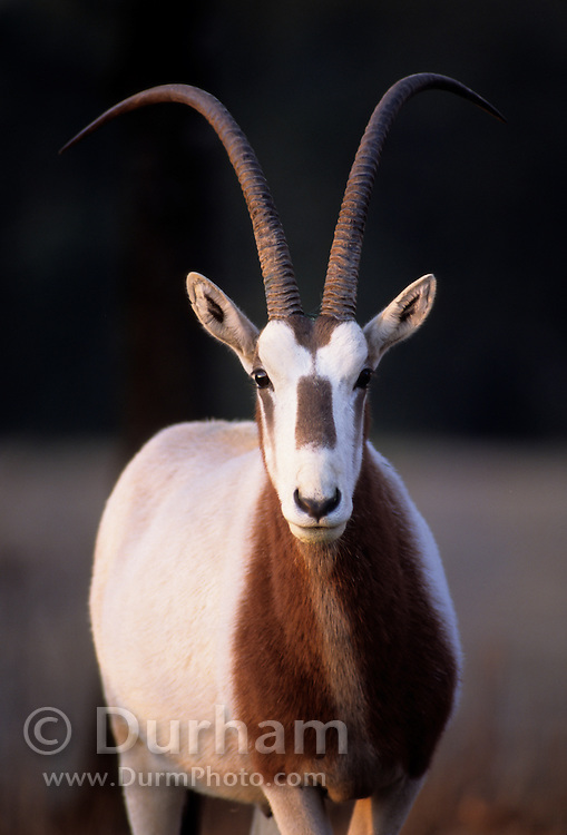 A critically endangered scimitar-horned oryx (Oryx dammah). Native range: Chad. Captive.