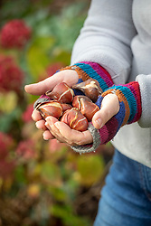 Handful of tulips ready to plant out