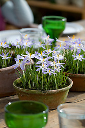 Crocus in shallow terracotta pot as table decoration