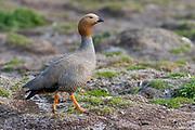 Ruddy-headed goose (Chloephaga rubidiceps) from Sea Lion Island, the Falkland Islands.