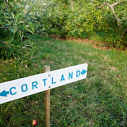 Cortland apples at Green Mountain Orchards in Putney, Vermont.