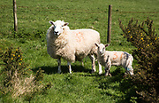 Sheep and lambs on chalk downland near Pewsey, Wiltshire, England, Uk